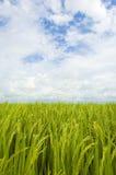 Paddyfeld, -himmel und -wolken Lizenzfreie Stockbilder