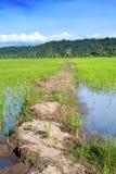 Paddyfeld in Sabah Lizenzfreie Stockfotos