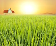 Paddyfield Royalty Free Stock Photo