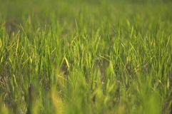 Paddyfield 2 Royalty Free Stock Photo
