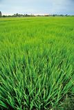 Paddyfield Fotos de Stock Royalty Free