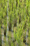 Paddyfield Royalty Free Stock Photography