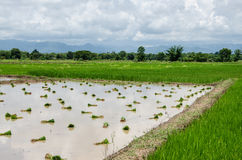 Paddyfield. The paddyfield in cloudy day in thailand Royalty Free Stock Photos