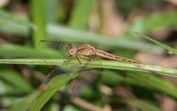 Paddyfield Parasol dragonfly obraz royalty free