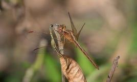 Paddyfield Parasol dragonfly zdjęcia stock
