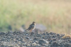 Paddyfield Pipit on the ground stock image
