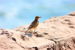Paddyfield Pipit, Anthus rufulus, Kanha Tiger Reserve, Madhya Pradesh. India Stock Images