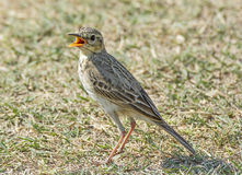 Paddyfield pipit bird. On the ground stock photography