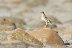 Paddyfield pipit bird in Nepal Stock Image