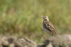 Paddyfield pipit in Nepal Stock Images