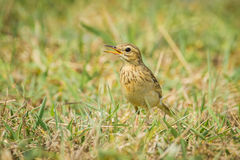 Paddyfield Pipit, Royalty Free Stock Photography