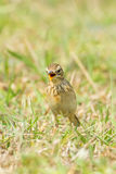 Paddyfield Pipit Royalty Free Stock Photos
