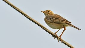 Paddy field Pipit on wire stock images