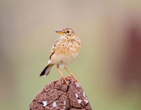 Paddyfield Pipit perched on a termite mound. The paddyfield pipit, or Oriental pipit, is a small passerine bird in the pipit and wagtail family. It is a Royalty Free Stock Image