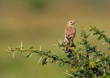 Paddyfield Pipit perched on a termite mound. The paddyfield pipit, or Oriental pipit, is a small passerine bird in the pipit and wagtail family. It is a Stock Photo