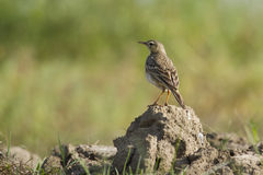 Paddyfield pipit standing on a small rock, in Nepal Royalty Free Stock Photo