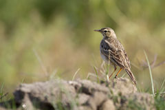 Paddyfield pipit standing on a small rock, in Nepal Stock Photo