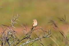Paddyfield Pipit umieszczający na termitu kopu Obrazy Stock