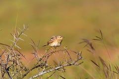 Paddyfield Pipit umieszczający na termitu kopu Zdjęcie Stock