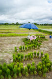 Paddyfield in Thailand. Paddy prepared for growing in the field in northern Thailand Royalty Free Stock Photo
