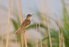 A Paddyfield warbler singing Royalty Free Stock Photo