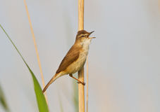 A Paddyfield warbler singing Stock Photo