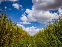 Paddyjasmin-Reisfeld mit der schönen Wolke des blauen Himmels bewölkt lizenzfreie stockfotos