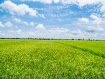 Paddyjasmin-Reisfeld mit schönem erneuerndem blauem Himmel lizenzfreie stockfotos