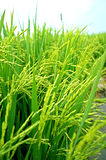 Paddyplantage Stockfoto