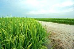 Paddyplantage Stockbild