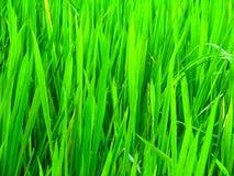 Paddyplantage in einem Ackerland stockbilder
