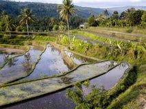 Paddys del riso con irrigazione dell'acqua in Bali Immagine Stock