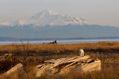 Padeiro nevado da coruja e da montanha Foto de Stock