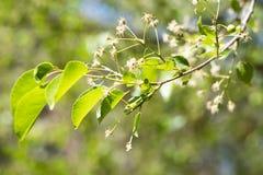 Padellus Mahaleb de branche avec les fleurs blanches images libres de droits
