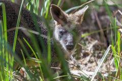Pademelon closeup- native Australian marsupial mammal. Stock Image