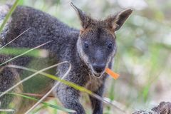 Pademelon eating native Australian marsupial mammal. Stock Photography