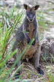 Pademelon eating- native Australian marsupial mammal portrait. Royalty Free Stock Photo