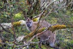 Pademelon en Tasmanie image stock