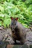 Pademelon en Tasmanie Photo stock