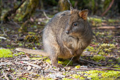 Pademelon Royalty Free Stock Photo