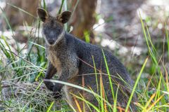 Pademelon - native Australian marsupial mammal. Royalty Free Stock Images