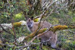 Pademelon in Tasmania Stock Image