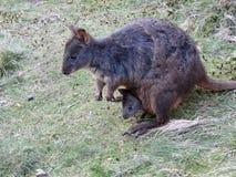 Pademelon tasmaniano australiano con il joey Fotografie Stock Libere da Diritti