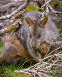 Pademelon tasmano Foto de archivo