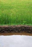 Padi риса Стоковые Изображения RF