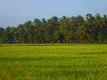 Padi fält i centrala Java, Indonesien arkivfoton