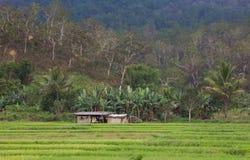 Padi Feld in Osttimor Stockbild