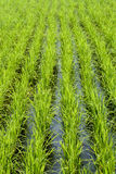 Padi Field. View of rice field in rows royalty free stock photography