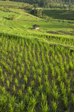 Padi Field Royalty Free Stock Photo