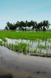 Padi Field. A landscape view of padi field Royalty Free Stock Photo